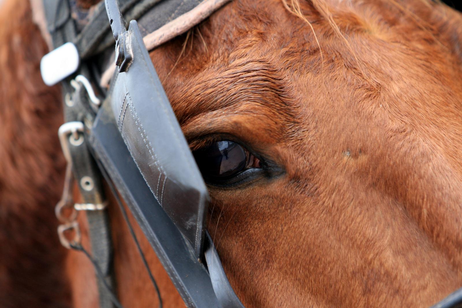 Les oeillères permettent de compenser certaines faiblesse d'un cheval de course pmu.